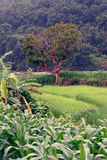 Rice and corn fields in Sapa stock photography