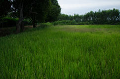 Rice,cornfield,green. Picture rice on cornfield green and tree Royalty Free Stock Photos
