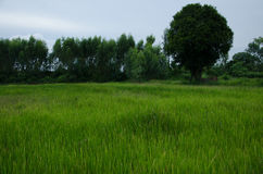 Rice,cornfield,green. Picture rice on cornfield green and tree Stock Photo