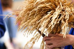 rice corps in harvest parade royalty free stock images