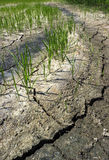 Rice on crack ground Stock Photos