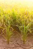 Rice cracked soil. Stock Photography