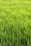 Rice crop Royalty Free Stock Photo