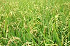 Rice crop. Cool detail of Rice field crop Royalty Free Stock Images