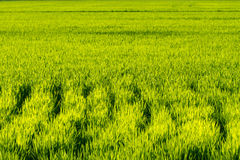Rice crop Royalty Free Stock Image