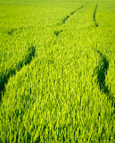 Rice crop Royalty Free Stock Photography