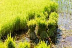 Rice Crop Stock Image