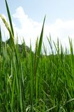 Rice crop close up Royalty Free Stock Image