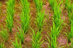 Rice crop, closeup Royalty Free Stock Images