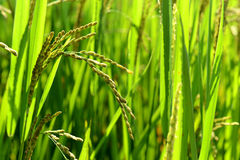 Rice Crop Stock Photography