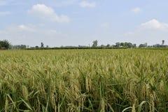 Free Rice Crop Field Maturity Period Royalty Free Stock Photos - 158991238