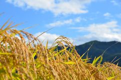 Rice crop field scenary Stock Photography
