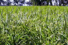 Rice crop Stock Images