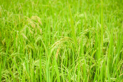 Rice crop growing on plantation. Agriculture background of field Stock Images
