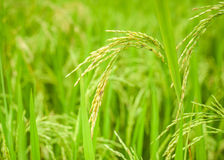 Rice crop growing on plantation Stock Photography