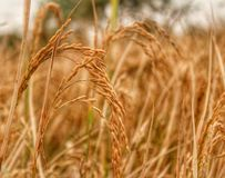 Rice crop harvest Royalty Free Stock Image