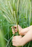 Rice crop Stock Image
