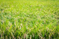 Rice Crop Ready for Harvest Stock Photography