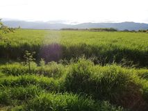 Rice crops in Colombia stock photography