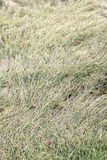 Rice. Crops hit by falling breeze Royalty Free Stock Photo