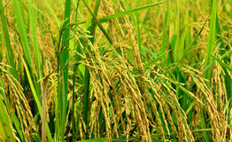 Rice. The crops are ready for harvest Stock Photography