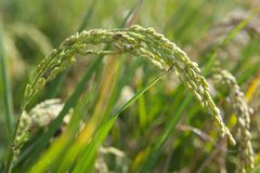 Rice cultivation Royalty Free Stock Images
