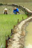 Rice cultivation. SAPA, VIETNAM - JULY 5: Two Vietnamese farmers work at a rice field in Sapa, Vietnam on July 5, 2009. Sapa is a big rice production area in Stock Photos