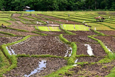 Rice cultivation. A terraced rice cultivation in Thailand royalty free stock photos