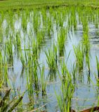 Rice cultivation for background. Rice cultivation and the growth for nature background. In Tamil language is called as Nel Vayal royalty free stock photos