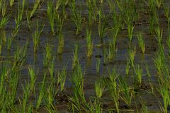 Rice cultivation on background. Rice cultivation and the growth for nature background. In Tamil language is called as Nel Vayal royalty free stock photography