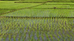 Rice cultivation for background. Rice cultivation and the growth for nature background. In Tamil language is called as Nel Vayal stock photos