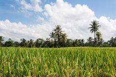 Rice cultivation on Bali, Indonesia Royalty Free Stock Image