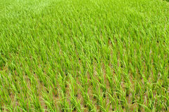 Rice cultivation in the country. rice cultivation in Asia Royalty Free Stock Photos