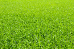 Rice cultivation in the country. rice cultivation in Asia Stock Photography