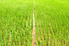 Rice cultivation in the country. rice cultivation in Asia Stock Photos
