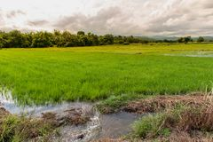 Rice cultivation. And drainage in day time stock images