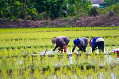 Rice cultivation. Farmers planting rice in Thailand Royalty Free Stock Photography