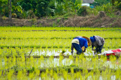Rice cultivation. Farmers planting rice in Thailand Stock Photography