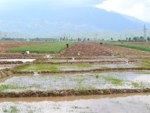 Rice cultivation. Rice fields on the way from Dushanbe in Tursunzade, Tajikistan Royalty Free Stock Photo