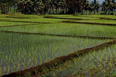 Rice cultivation on background. Rice cultivation and the growth for nature background. In Tamil language is called as Nel Vayal stock images