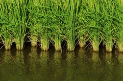 Rice cultivation. And the growth royalty free stock images