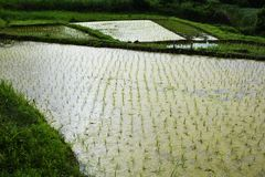 Rice cultivation. And the growth royalty free stock photo