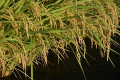 Rice cultivation. And the growth royalty free stock photography