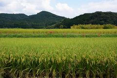 Rice cultivation. The harvest season / Rice cultivation stock images