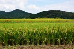Rice cultivation. The harvest season / Rice cultivation stock photography