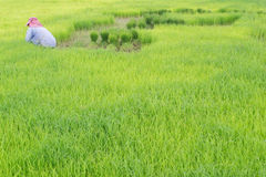 Rice cultivation Royalty Free Stock Photography