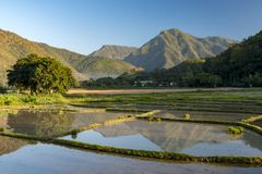 Rice cultivation. Mae hong song, thailand royalty free stock photo