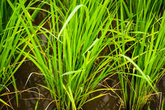 Rice. Cultivation is the main occupation of many countries Royalty Free Stock Photography