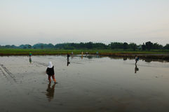 Rice cultivation in morning. The farmers are cultivating rice Royalty Free Stock Images