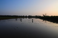 Rice cultivation in morning. The farmers are cultivating rice Stock Photography